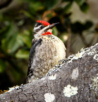 Red-naped Sapsucker, female