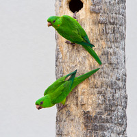 Green Parakeets, at nest