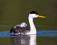 Clark's Grebe, with chick on parent's back