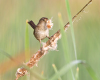Marsh Wren, collecting nest material