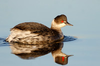 Eared Grebe, winter plumage
