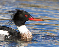 Red-breasted Merganser, male