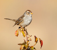 White-crowned Sparrow, immature