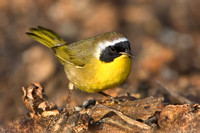 Common Yellowthroat, atop rotting Brussels sprouts