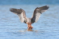 Reddish Egret, plunging for fish