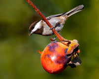 Chestnut-backed Chickadee, feeding on persimmon