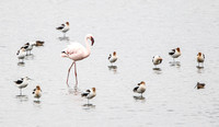 Lesser Flamingo (escaped captive bird)