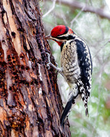 Red-naped Sapsucker, feeding