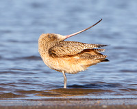 Long-billed Curlew, preening