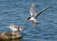 Forster's Tern: parent feeding young