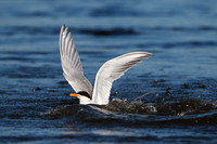 Forster's Tern, following unsuccessful dive
