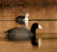 American Coot, chick & adult