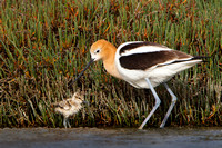 American Avocet, parent with 3-day-old chick
