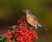 American Robin, feeding on toyon berry