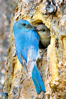 Mountain Bluebirds, male and female at nest