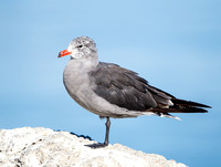 Heermann's Gull, winter adult