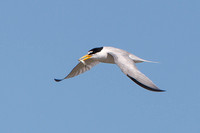 Least Tern, adult in flight with fish