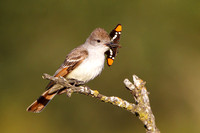 Ash-throated Flycatcher, with butterfly (California Sister)