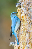 Mountain Bluebird, male delivering food to nest