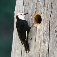 White-headed Woodpecker, delivering insects to nest
