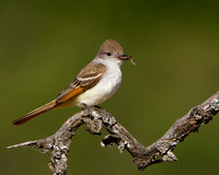 Ash-throated Flycatcher, with insect