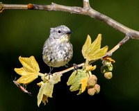 Yellow-rumped Warbler (Myrtle), winter plumage