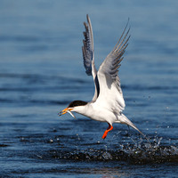 Forster's Tern, with fish