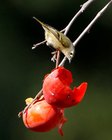 Ruby-crowned Kinglet, feeding on persimmons