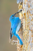 Mountain Bluebirds, male passing food to female at nest