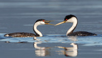 Western Grebe courtship: female swallowing fish after receiving it from male