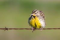 Western Meadowlark, ruffling its feathers