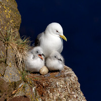 Black-legged Kittiwake, with chicks