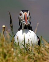 Atlantic Puffin, with beak full of sand eels