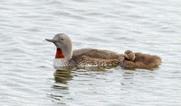Red-throated Loon, with chick