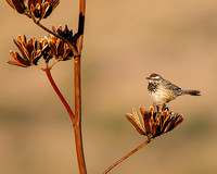 Cactus Wren, perched on Agave flower