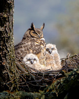 Great Horn Owl familly