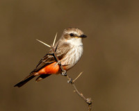 Vermilion Flycatcher, female
