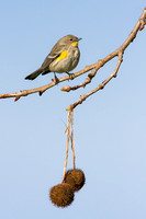 Yellow-rumped Warbler, with seed pods