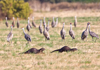 Sandhill Cranes with River Otters