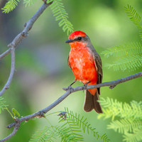 Vermilion Flycatcher, male