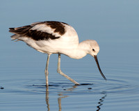 American Avocet, winter plumage