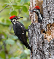 Pileated Woodpeckers, adult female (mother) at nest with young