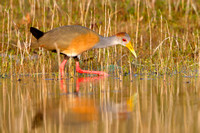 Russet-naped Wood-Rail (formerly Grey-necked Wood-Rail)