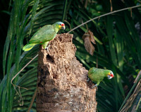 Red-lored Parrots (aka Red-lored Amazon)