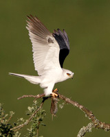 Male White-tailed Kite, with prey