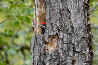 Pileated Woodpecker, young bird in nest
