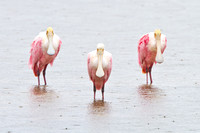 Roseate Spoonbills, caught in the rain