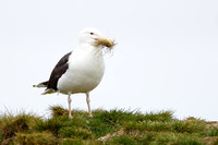 Great Black-backed Gull, with nest material