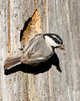 Mountain Chickadee, bringing food to the nest