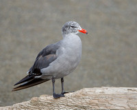 Heermann's Gull, non-breeding adult